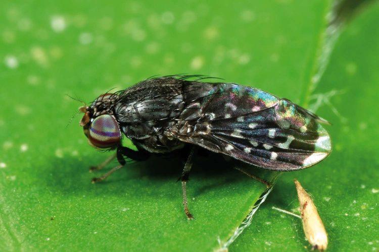 mosca negra confinamiento anecpla