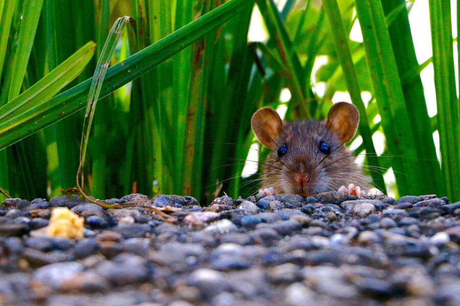 rata, plaga de ratas